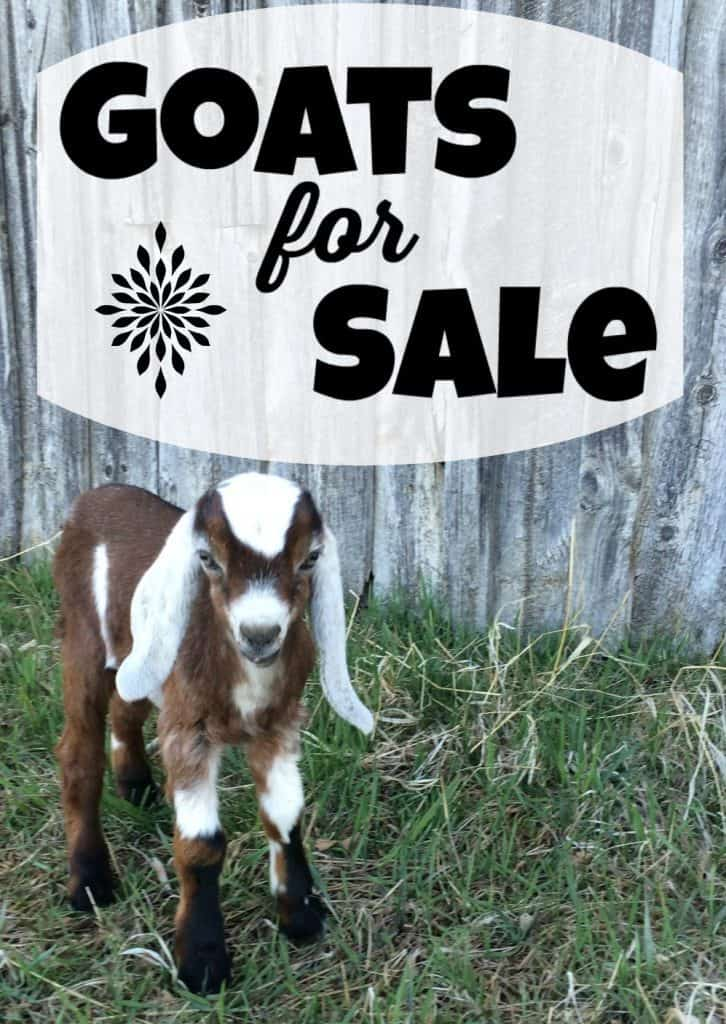 Goats for Sale in Lewistown, Montana