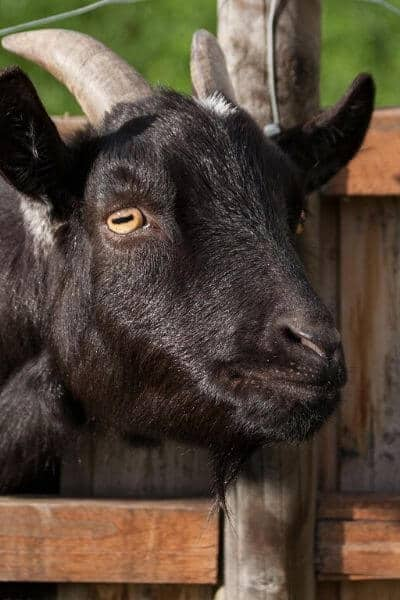 A goat behind a fence is usually a safe goat.