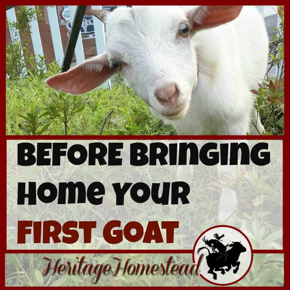 Before bringing home your first goat: before your goats get settled, you can compile this list (and more) to keep your goats happy and healthy!