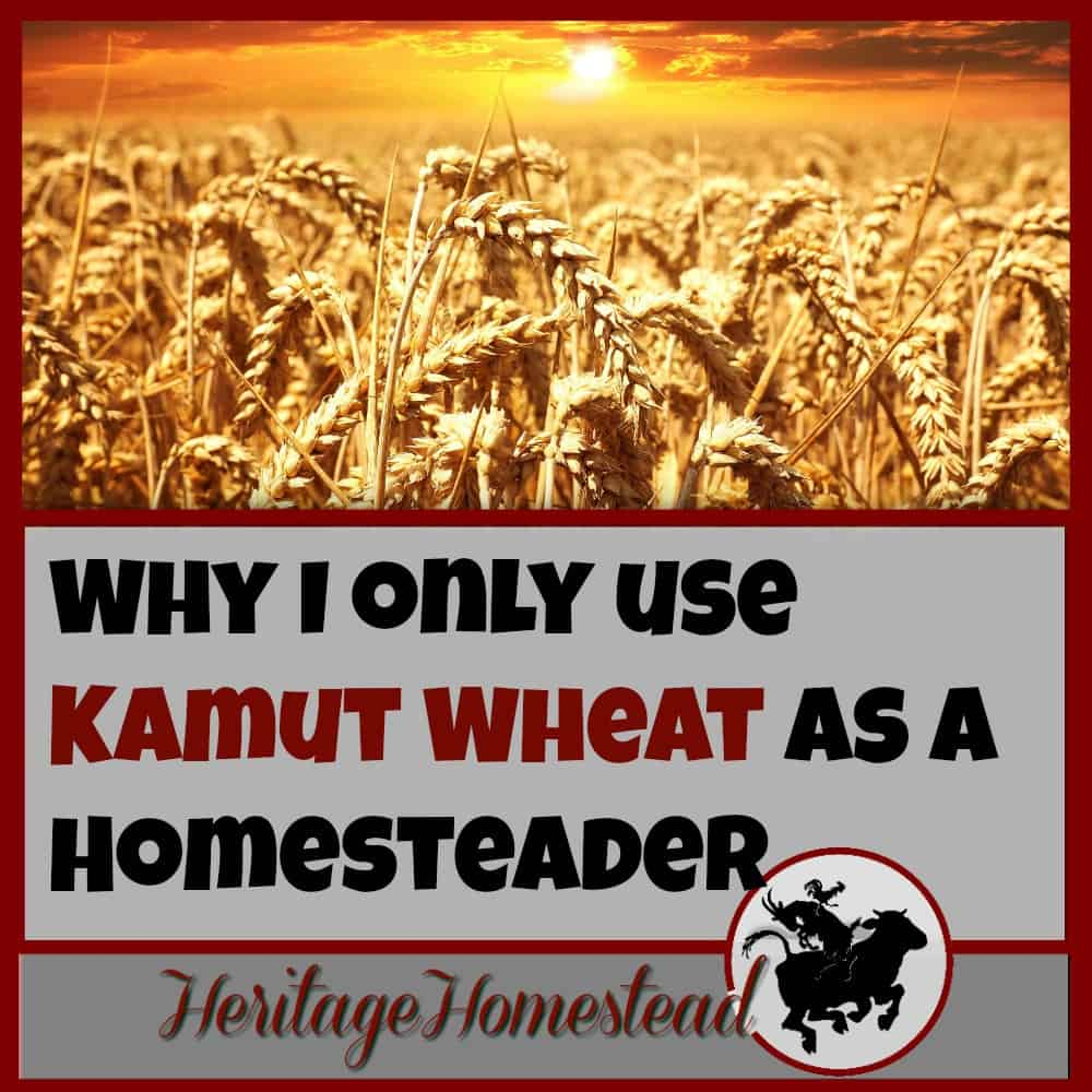 Homesteading | Kamut Wheat | Ancient Grains | In my opinion, KAMUT wheat is superior than the modern wheat available for many reasons. Here are my eight reasons why I only use Kamut wheat. Do you agree?