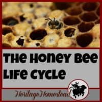 Bees | Bee Care | How to Bees | Bee Hive| What your hive may look like ten days after installing a bee package. The honey bee life cycle has most likely begun with eggs, larva and capped brood!