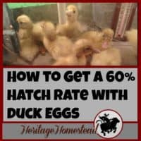 Ducks | Hatching Duck Eggs | Successful Hatching Rates | Have you ever wondered what it takes to have a successful hatch rate with duck eggs? Step by step instructions on how to get the best results!