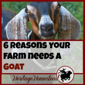 A farm needs a goat. 5 reasons YOU need a goat. So, what are you waiting for?? Do you research, prepare your pens, find your goat and bring her home!