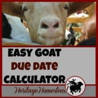 You need to know the best goat care during pregnancy. Pregnant does have many needs to support optimal health. FREE goat due date calculator.