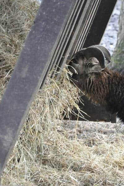 Goat eating hay out of a feeder