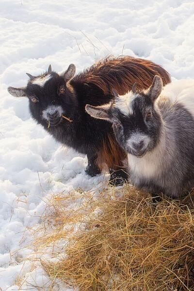 Goats eating hay in the snow and winter months