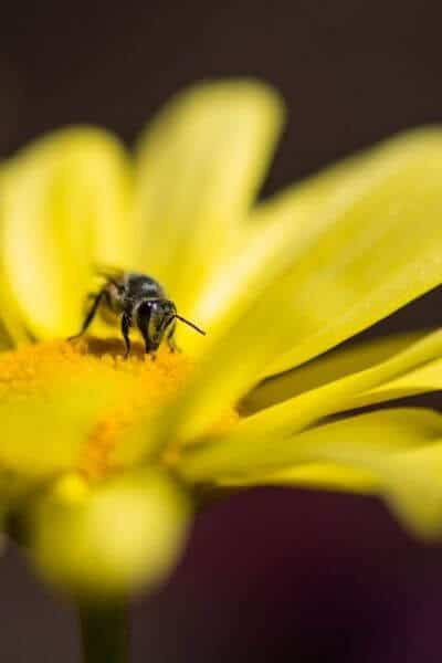 Be getting pollen on a yellow flower