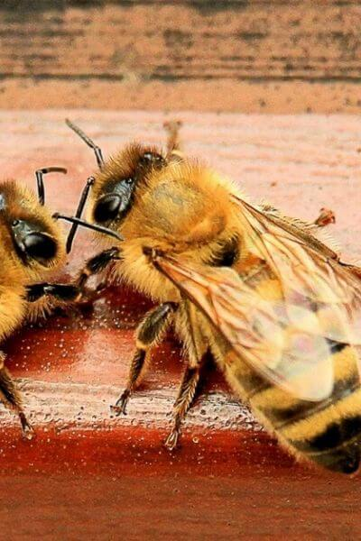 Two bees talking in front of the hive