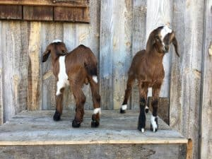 goats for sale in Montana