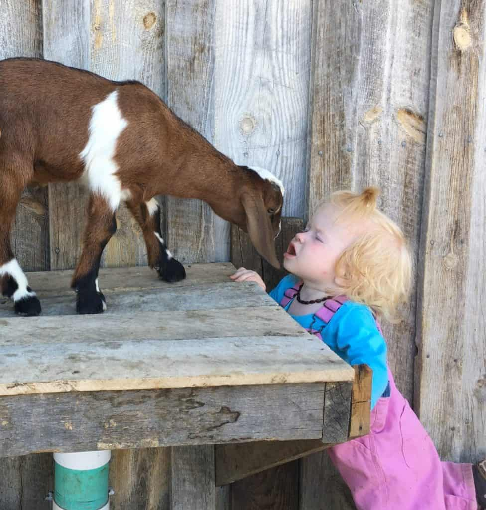 And kids can get goat kisses more easily as well