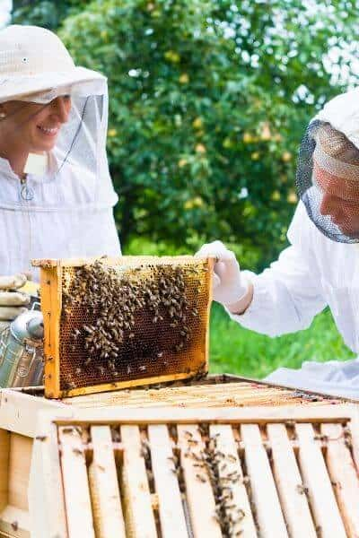 Two beekeepers looking at frames in a beehive