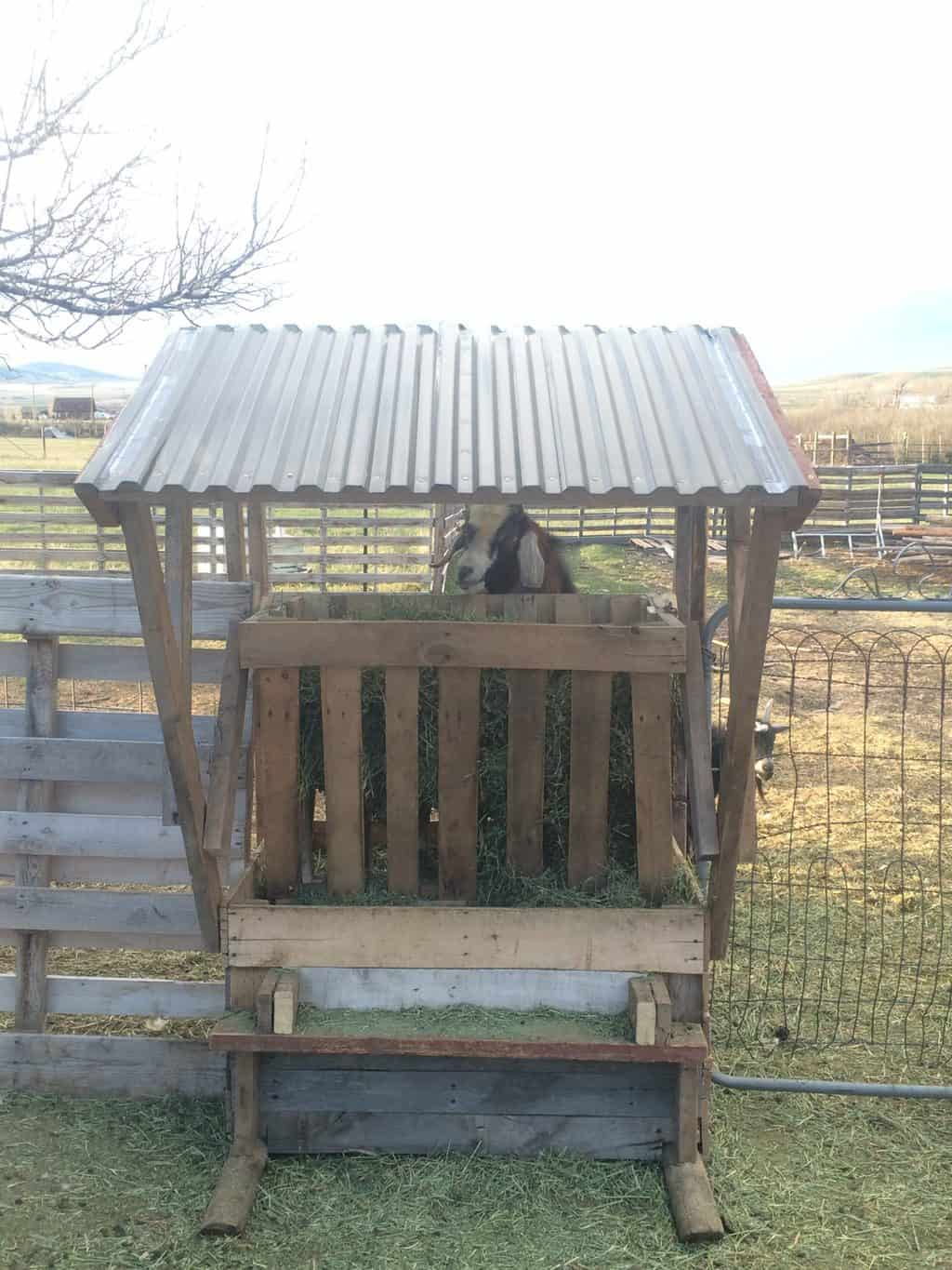 Goat feeder made out of pallets and old wood