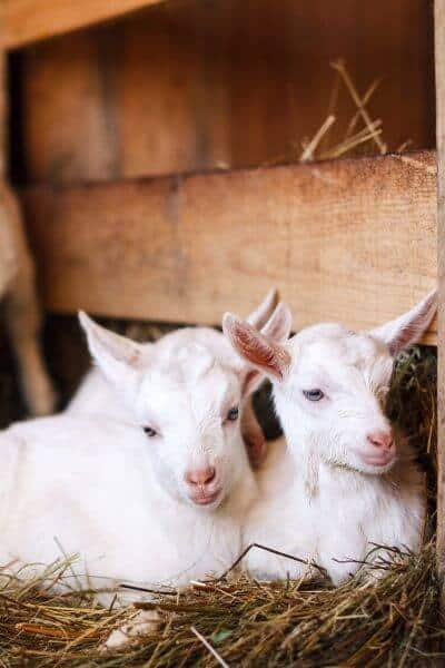 Two goat kids laying in straw after delivery