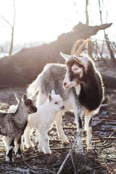 Goat with two kids standing in a pasture