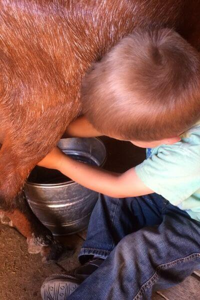 A 3-year-old milking a goat