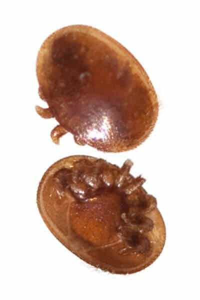 This is what varroa mites look like that invade bee hives
