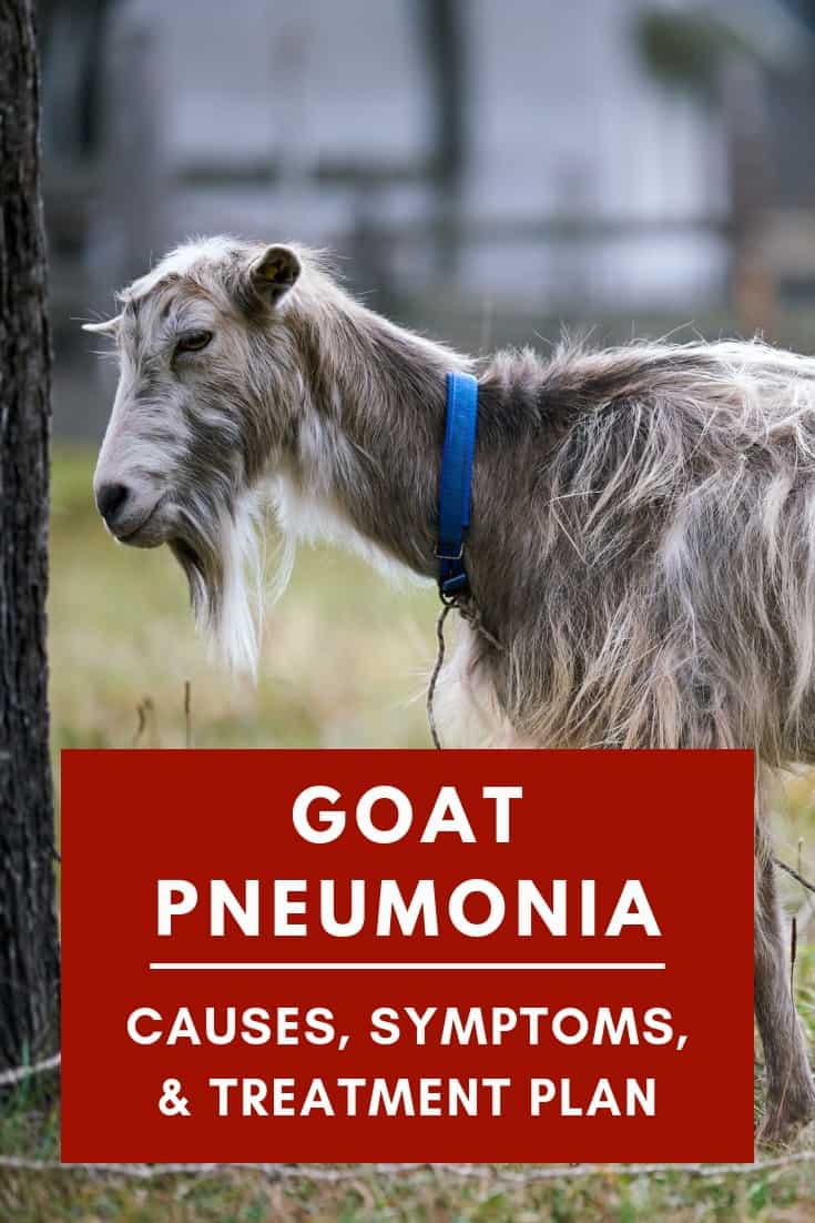 Cause, Symptoms, and Treatment Plan of goat pneumonia.