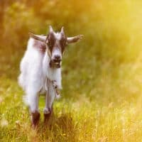Kidding Kit: A Complete List for Goat Birth