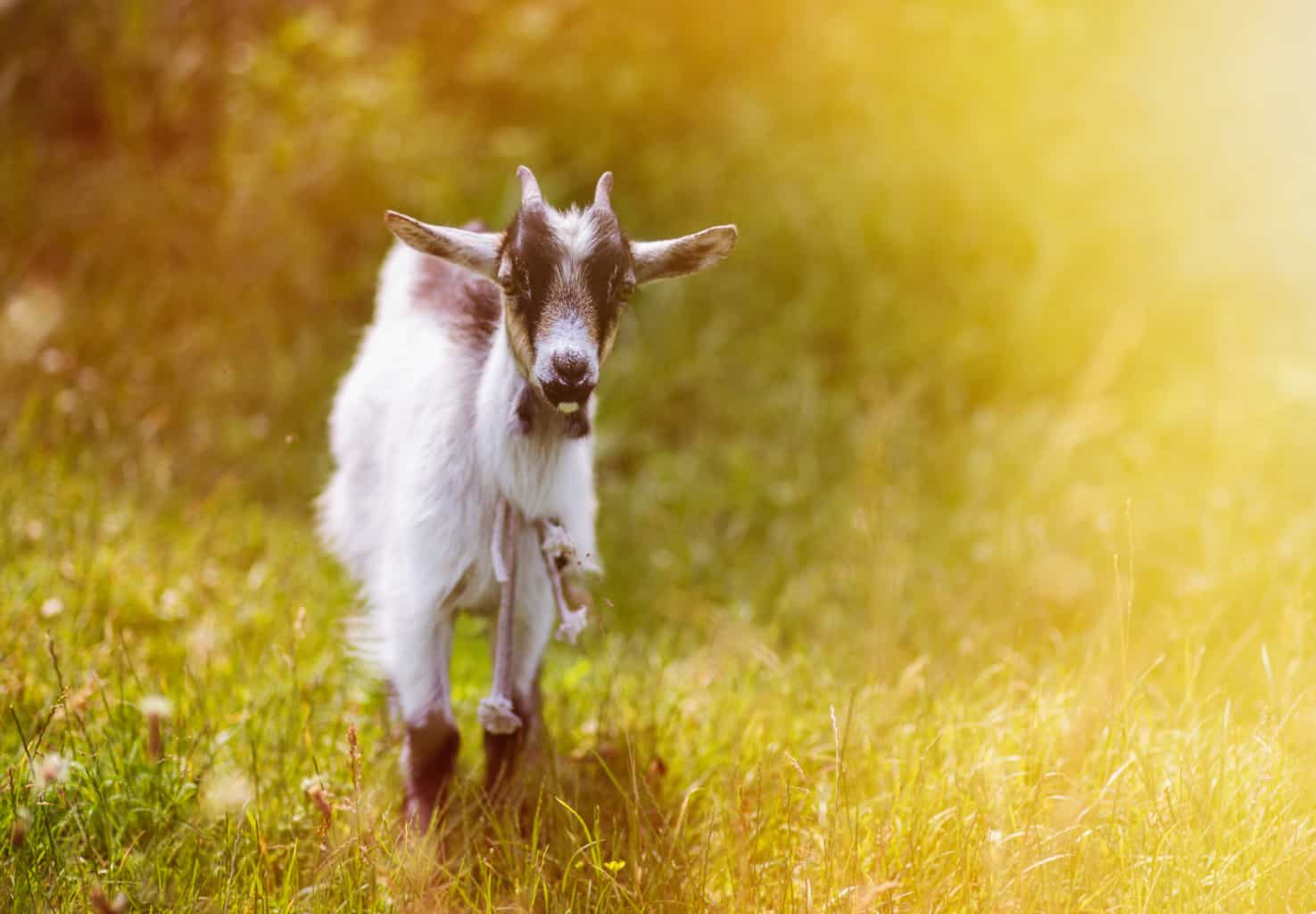 Goat Pneumonia is a leading killer in goats. Know the symptoms and the treatment options. Goat standing in green grass and sunlight