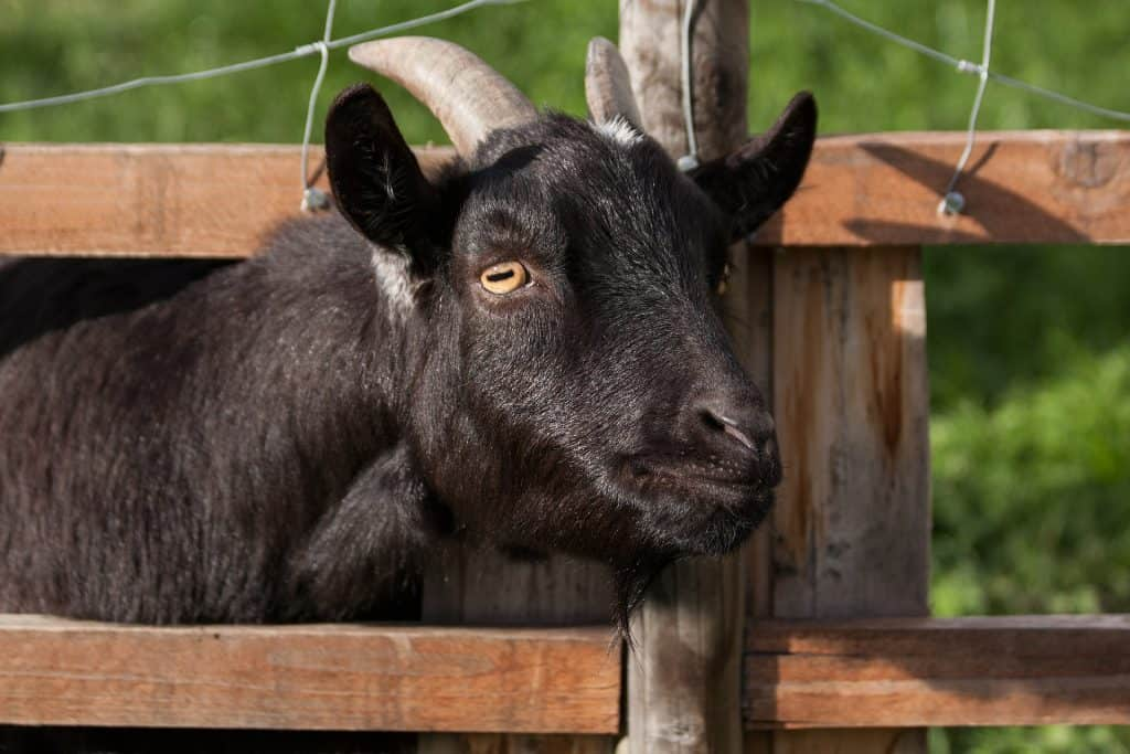 Always watch your goats for signs of the leading killer among goats, pneumonia. Black goat looking through fence