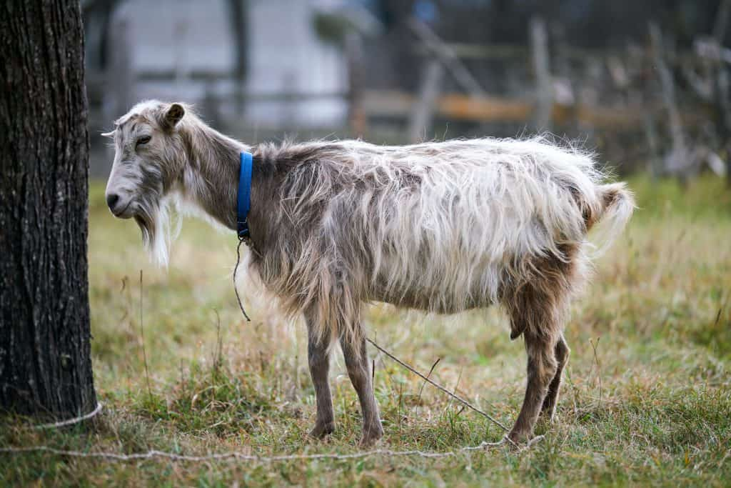 Goat pneumonia can kill a goat in as little as 4 hours. What for the signs and treat quickly! Goat with blue collar looking sickly