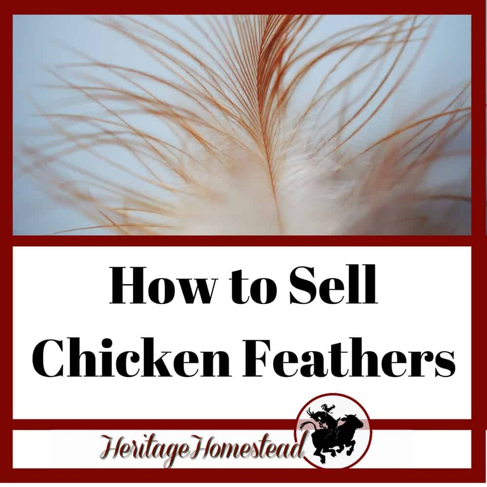 Chicken Feathers and how to sell them for profit