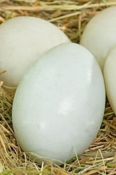 Four duck eggs on straw