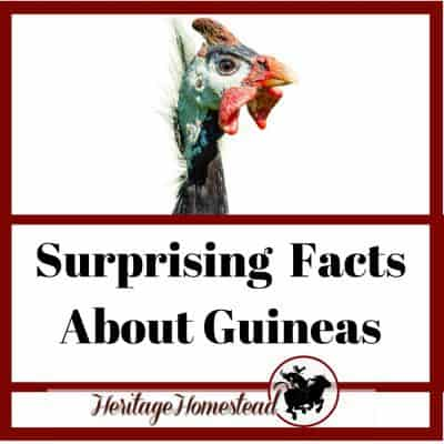 Surprising Facts About Guinea Fowl: Know BEFORE Buying!