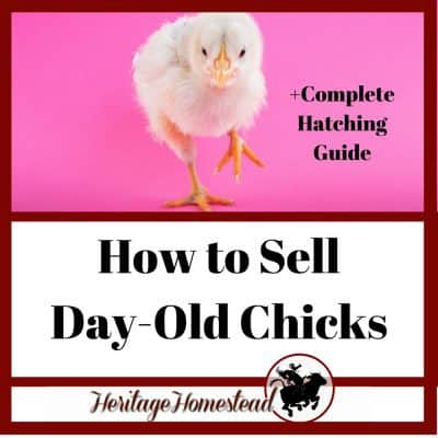 How to Make a Profit Selling Day Old Chicks by Hatching Chicken Eggs