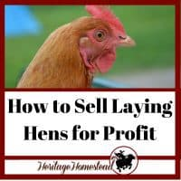 Laying hens and how to sell a laying hen for profit