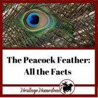Peacock Feathers and all the facts