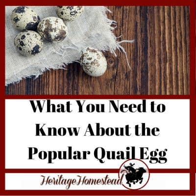 What You NEED TO KNOW About the Popular Quail Eggs (+Profit Too!)