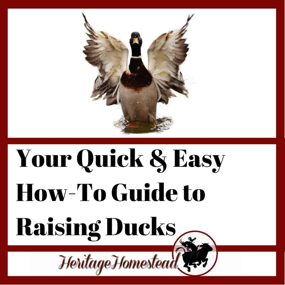 Your quick and easy how to guide to raising ducks