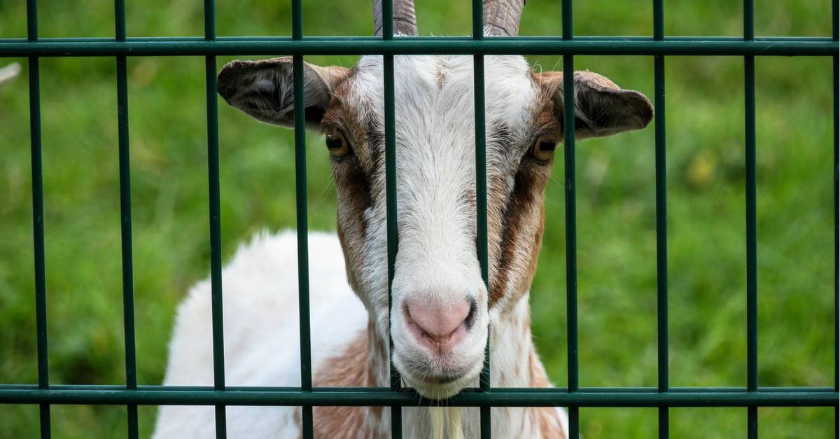 Is the grass greener on the other side of fodder? Goat looking through fence