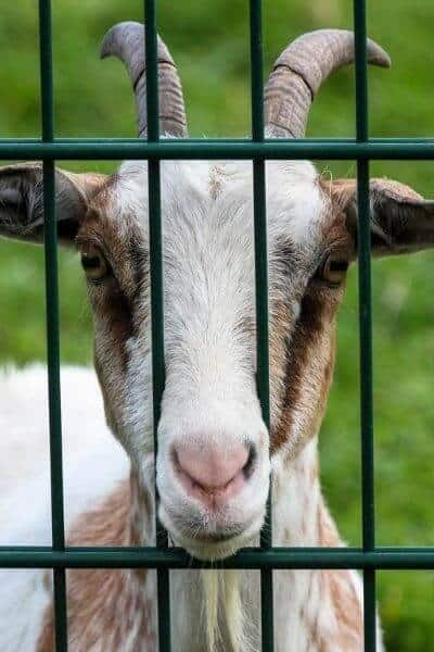 Goat looking through fence to the fodder on the other side
