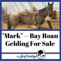 """""""Mark"""" A bay roan Horse for sale in Lewistown MT"""