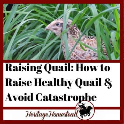Raising Quail: How to Raise Healthy Quail and Avoid Catastrophe