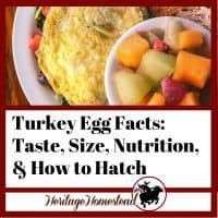 Turkey egg facts: taste, size, nutriton and how to hatch