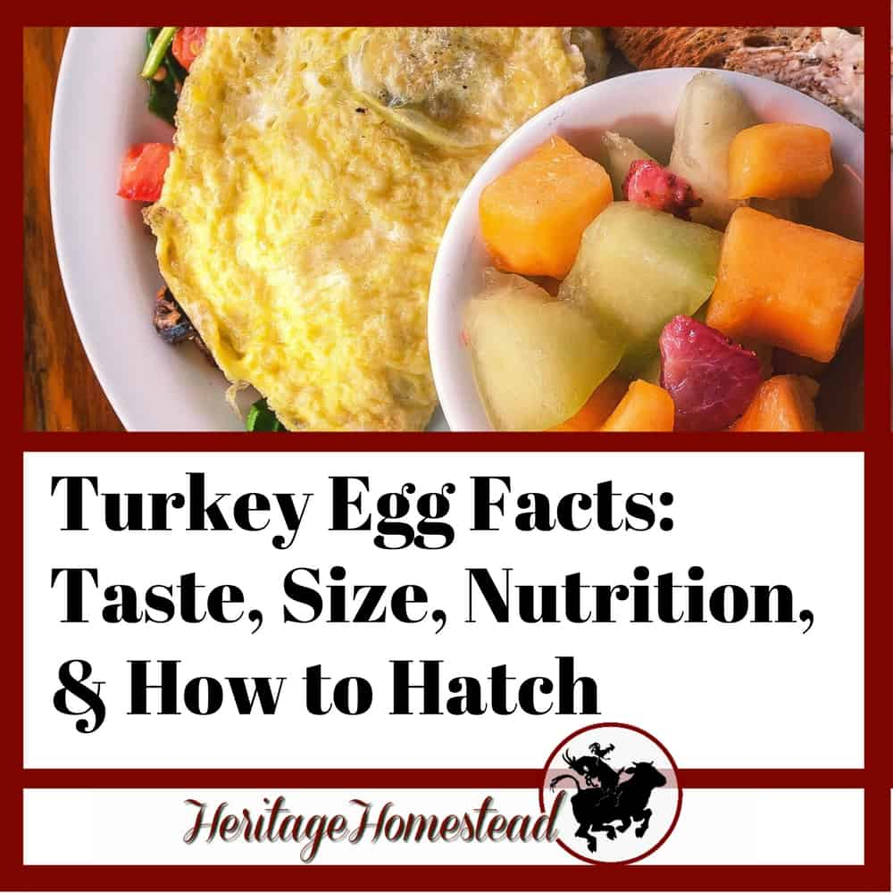 Turkey Eggs Facts: (Size, Nutrition, & Taste??), +How to Hatch Them