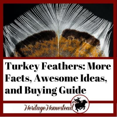 Turkey Feathers: More Facts, Awesome Ideas, and Buying Guide