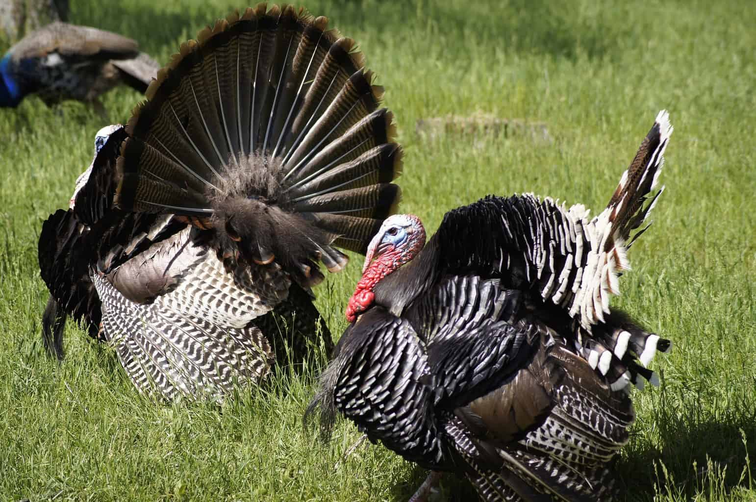Two Narrangansett Turkey Strutting