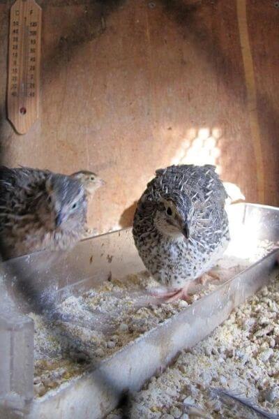 Quail standing in their feeder inside their house