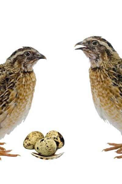 Two quail standing over 3 eggs