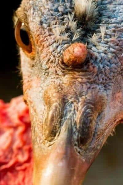close up of a turkey's head