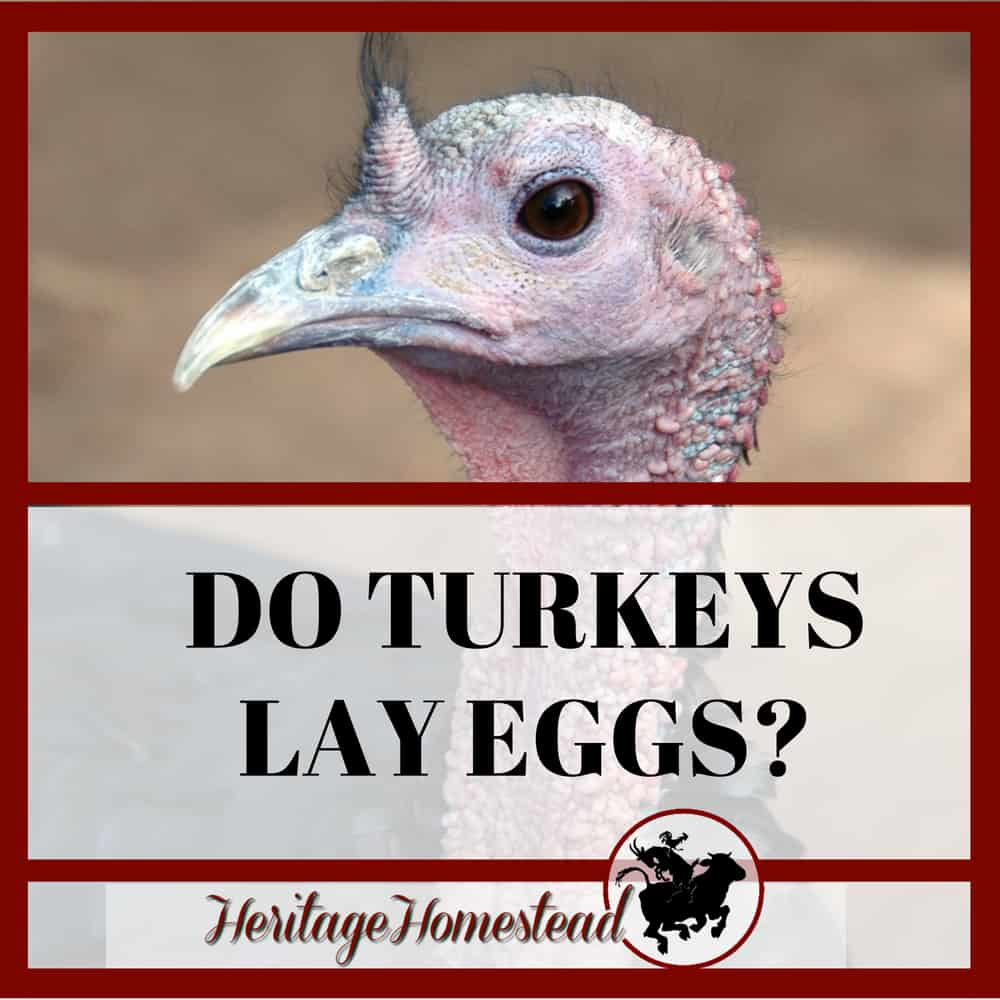 Do Turkeys Lay Eggs?