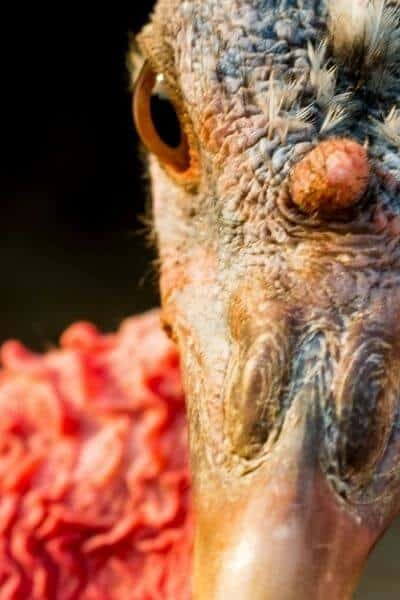 Turkey hen close up
