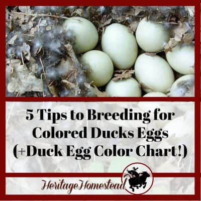 5 Tips to Breeding for Colored Ducks Eggs (+Duck Egg Color Chart!)