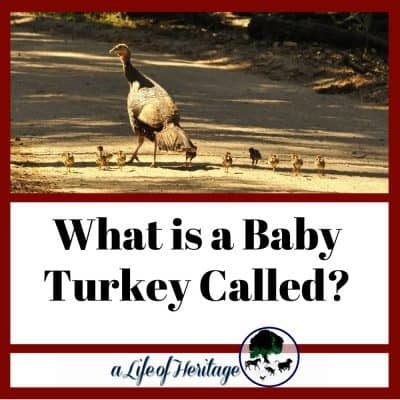 What is a Baby Turkey Called?
