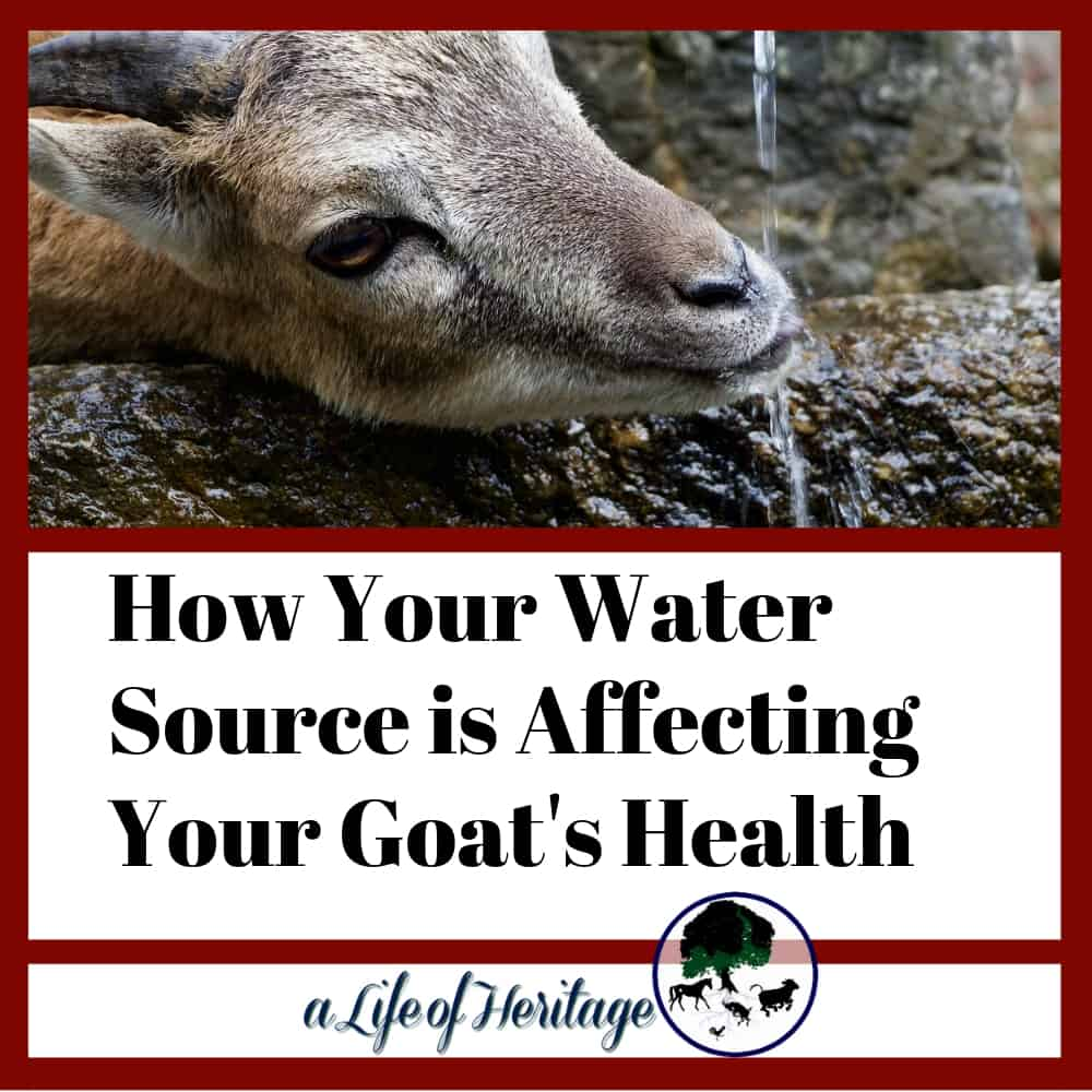 "Goat drinking water with the words ""how your water source is affecting your goat's health"""