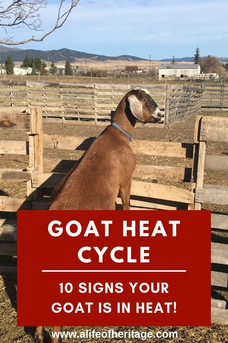 Goat heat cycle, 10 signs your goat is in heat